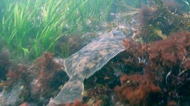 Winter Flounder (Backbacks)