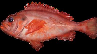 Acadian Redfish