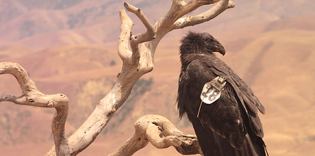 Juvenile California condor perched in a snag at BCNWR in 2011 by Angela Woodside