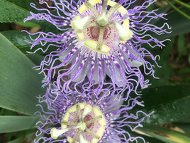 Passionate about Passionflower