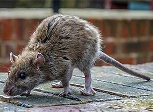 ratos.jpg