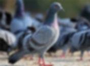 controle-de-pombos-na-zona-norte-sp.jpg