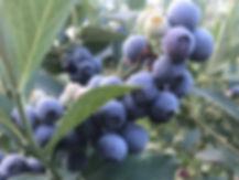 blueberries HCH.jpg