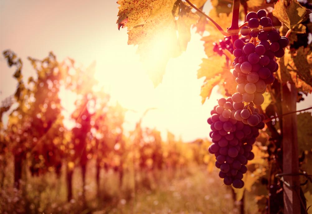 Grapes on Vine in Sun.jpg