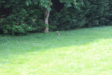 Bunny rabbits playing merrily in the field!