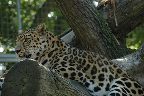 NT_Leopard_Marwell.jpg