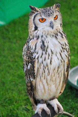 NT_owl.jpg