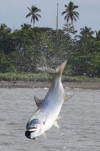 rio-parismina-costa-rica-tarpon-2.jpg