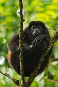 rio-parismina-howler-monkey.jpg