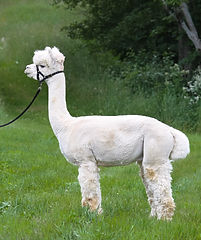 silentvalleyalpaca-Herrington 2014.jpg