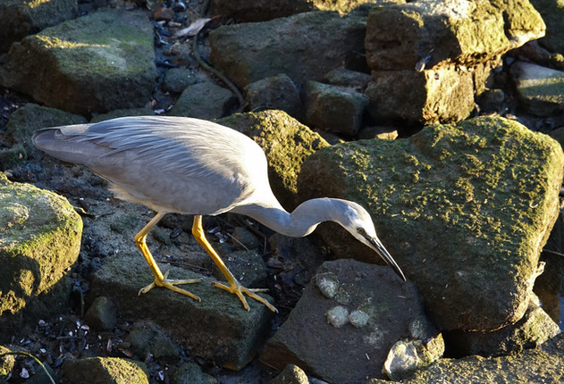 White-faced Heron (2).JPG