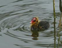 Eurasian Coot chick.JPG