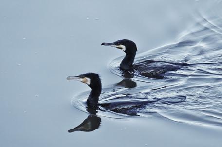 Great Cormorant.JPG