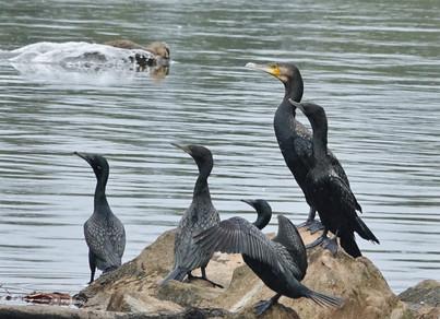 Little Black Cormorant, Great Cormorant.