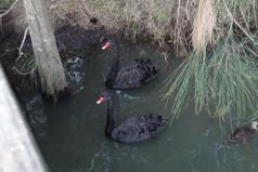 Black Swan (3).JPG