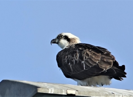 Featuring The Osprey - An occasional visitor (26 May 20)