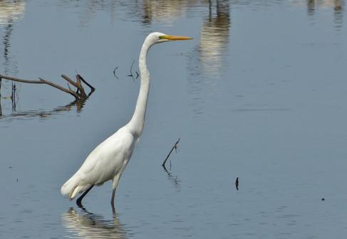 Great Egret (2).JPG
