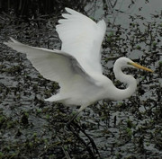 Great Egret (3).JPG