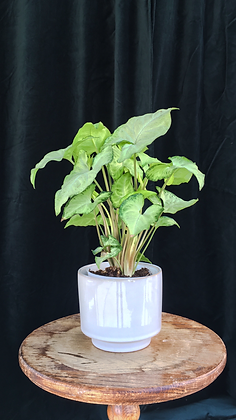4'' WHITE POT WITH PLANT