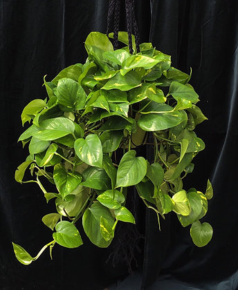 SINGLE HANGING MACRAME HOLDER WITH POTHOS