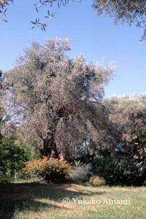 Un jardin des olives-HP Amami.jpg