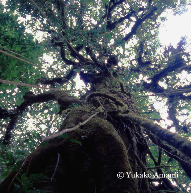 Big tree-Costa Rica-HP Amami.jpg