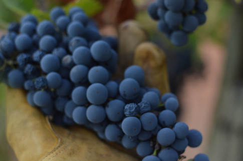 The Faces of Harvest, Sonoma County