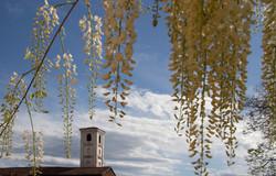 profumo di primavera con glicine bianca