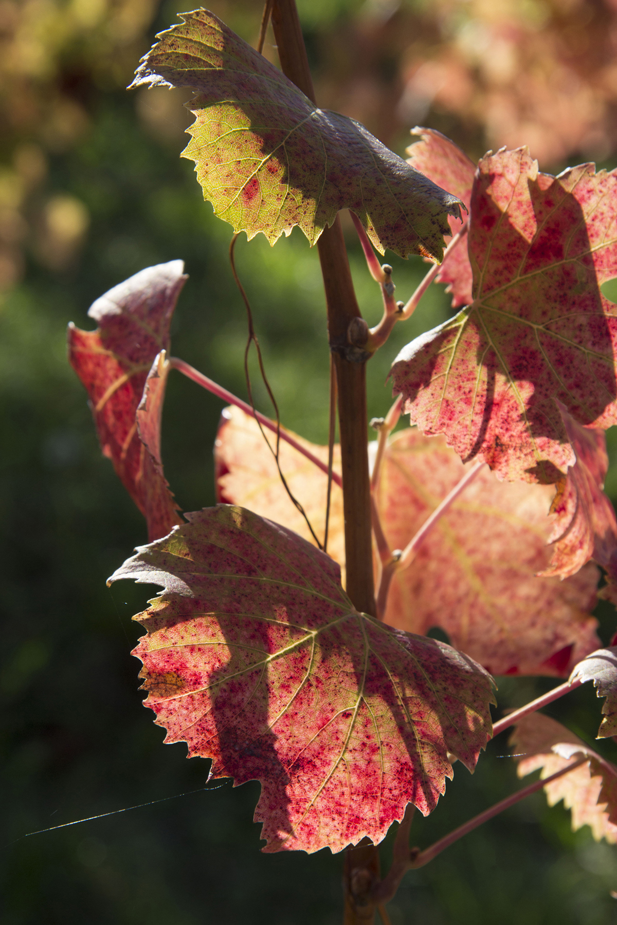 Vite in autunno