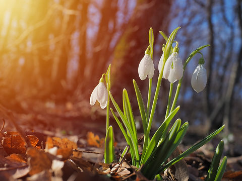 Snowdrop or common snowdrop (Galanthus n