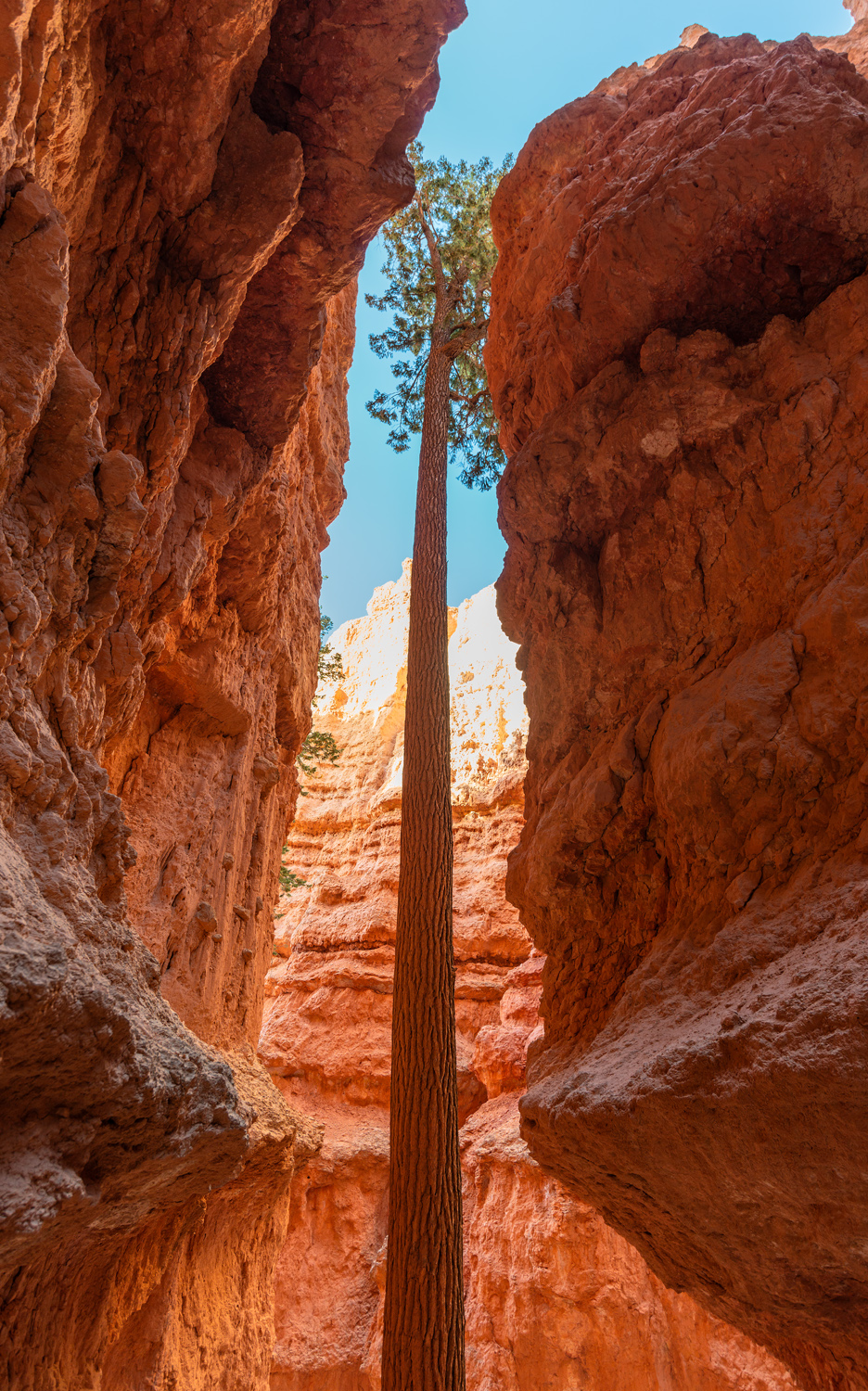 Bryce Canyon Tree 1