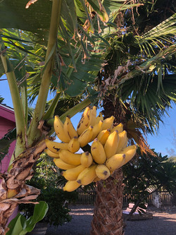 HI Bananas