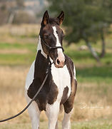 2018 black and white filly for sale