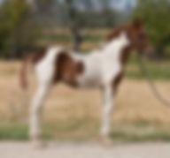 2018 Azteca gelding for sale