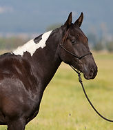 2017 black and white Azteca gelding for sale