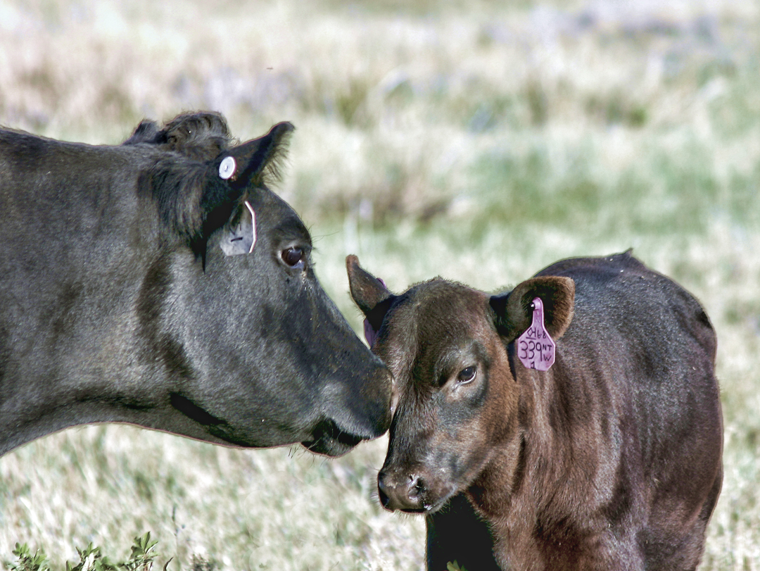 Irish Black Cow and Calf