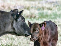 Irish Black Cow and Calf