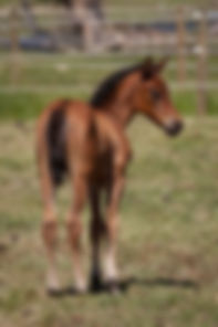 weanling filly for sale