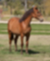 2 year old Azteca filly for sale