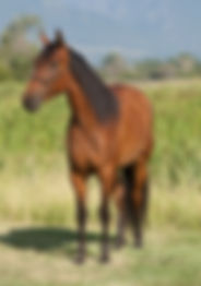 2016 Azteca bay filly for sale