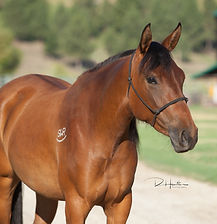 2017 Azteca bay filly for sale
