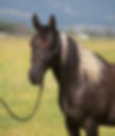 3 year old Azteca gelding for sale