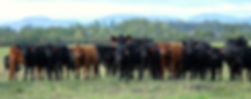 group of Irish Black Cattle