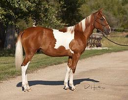 sorrel and white Azteca ranch gelding