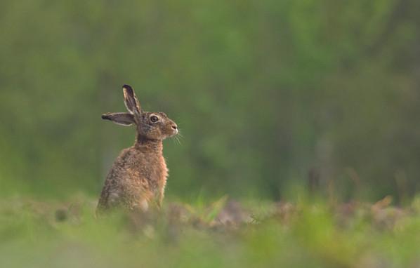 Haas hare lievre liebre lepre hasen 4867