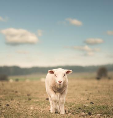 lamb lamm agneau cordero patagonia 11714