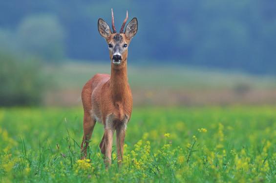 roe deer ree reh capriolo in field 48447