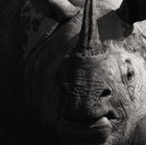 Greater One-Horned Rhinoceros, a portrait