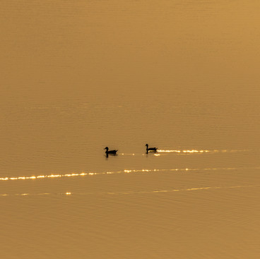 Gold trails of pintails!