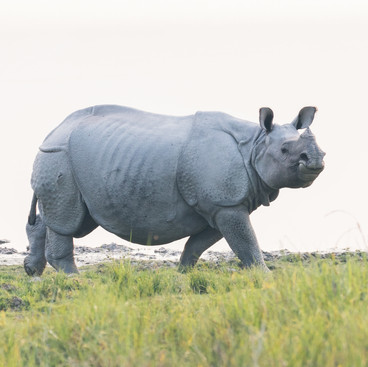 One-Horned Rhinoceros - a portrait